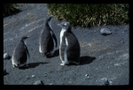 Gentoo Penguin 3 chicks [orig]