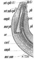 Pseudolella cephalata