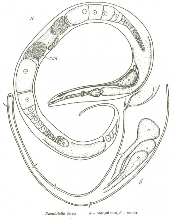 Pseudolella ferox
