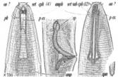 Pseudolella granulifera, author: Campinas Bezerra, Tania Nara