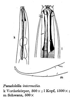 Pseudolella intermedia