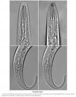 Pseudolella major