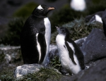 Gentoo Penguin adult#10BF38_1