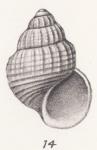 Alvania beyersi (Thiele, 1925)