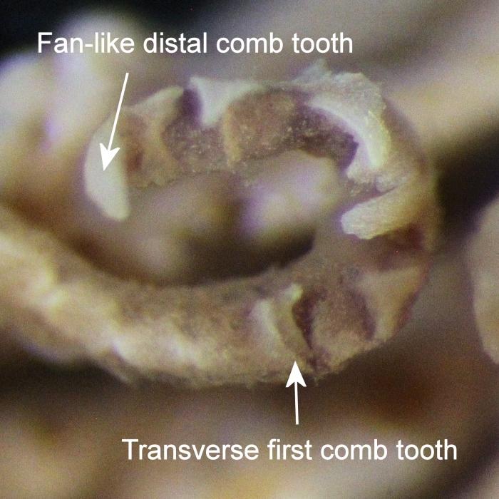 Comatella decora holotype USNM E1309 Oral pinnule comb (P2)