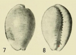 Original figures from Iredale, 1939, pl. XXIX, figs. 7-8, from PDF file from BHL (http://www.biodiversitylibrary.org/page/38926931#page/359/mode/1up). Photos by G. C. Clutton. F. Moretzsohn cropped and rearranged photos.