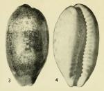 Erronea caurica blaesa Iredale, 1939