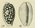 Cribraria cribraria zadela Iredale, 1939