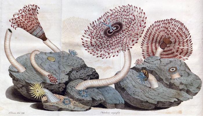 Tubularia magnifica original plate (supplied via BHL)