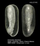 Granulina atlantidea