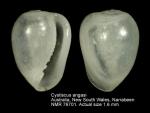 Cystiscus angasi