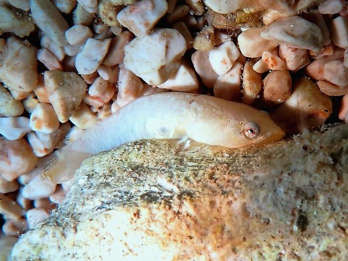 Diplecogaster bimaculata