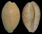 Evenaria persticta Iredale, 1939 - holotype