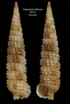 <i>Strobiligera flammulata</i> Bouchet &amp; Warén, 1993 </b>Specimen from the Alboran Platform, INDEMARES Alboran haul BV12 (35º52,222'N, 03º05,215'W, 112-120 m)