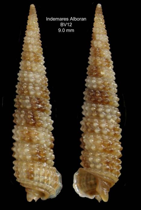 Strobiligera flammulata Bouchet & Warén, 1993 Specimen from the Alboran Platform, INDEMARES Alboran haul BV12 (35º52,222'N, 03º05,215'W, 112-120 m)