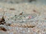 Deltentosteus quadrimaculatus (female)