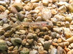 Gobius roulei (juvenile)