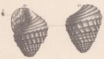 Rissoina greppini de Loriol, 1890