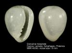 Granulina marginata