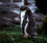 Gentoo Penguin chiick a_1