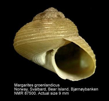 Margarites groenlandicus