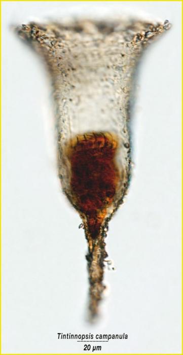 Tintinnopsis campanula