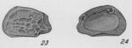 Holotype of Hemicythere confragosa Edwards, 1944
