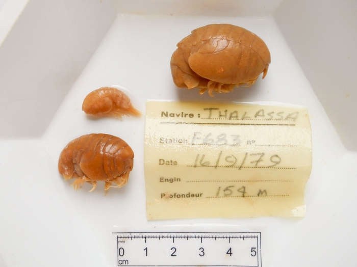 Stegocephalus, trio of specimens