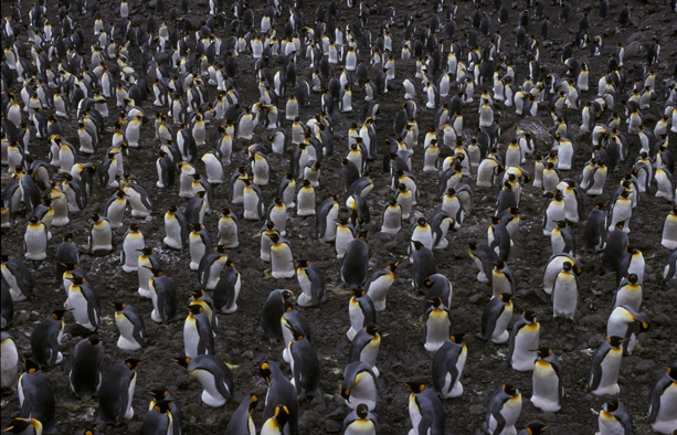 King Penguin colony 1CS5_1