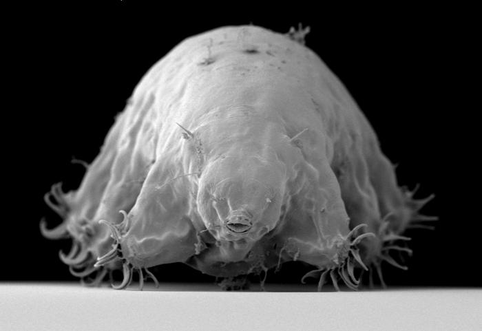 Marine tardigrade Echiniscoides sp.
