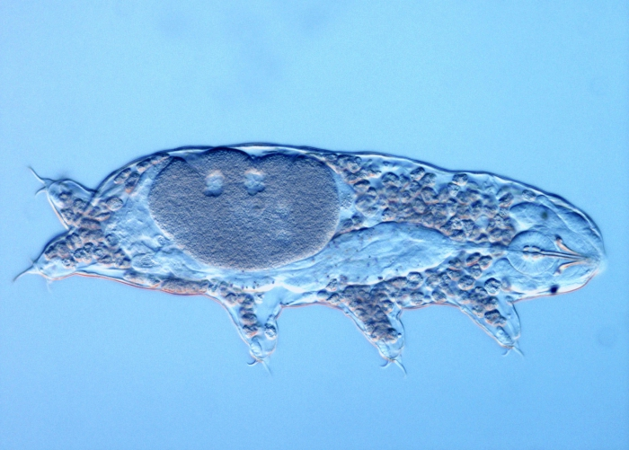 Limnoterrestrial tardigrade Acutuncus antarcticus