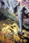 Plakinastrella microspiculifera