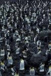 King Penguin colony 2CS5_1