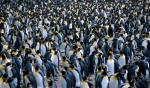 King Penguin colony 2_1
