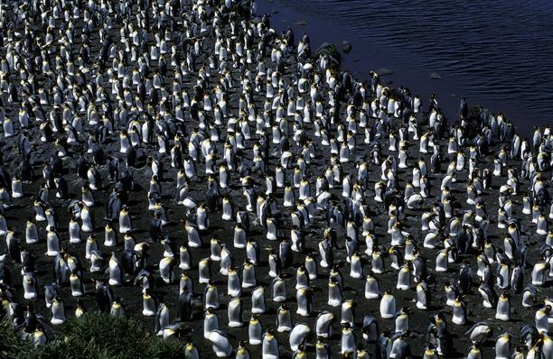 King Penguin colony 5CS5_1