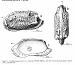 Holotype of Treibelina rugosa Alison & Holden, 1971