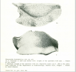 Havanardia havanensis Pokorny, 1968 from the original description