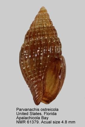Parvanachis ostreicola