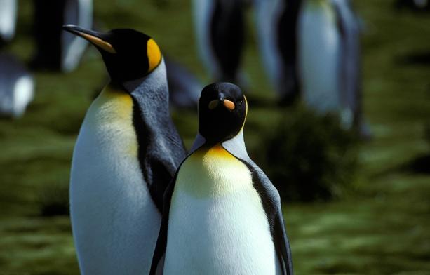King Penguin pair (rev)_1