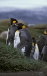 King Penguin pair 1_1