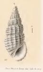 Rissoina transenna Watson, 1886
