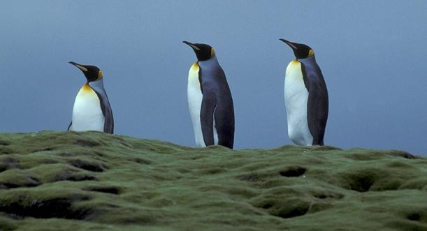 King Penguin trio a_1