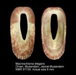 Macroschisma elegans
