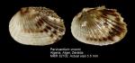 Parvicardium vroomi