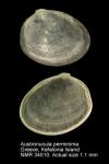 Austronucula perminima