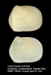 Leporimetis contorta