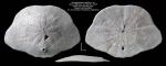 Monophoraster darwini holotype