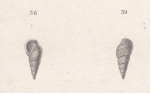 Rissoa striata Quoy & Gaimard, 1833