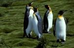 King Penguins and Azorella_1