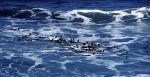 King Penguins in surf_1